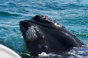 Southern Right whale in Hermanus, South Africa