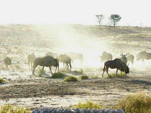 Wildebeest - click for larger image